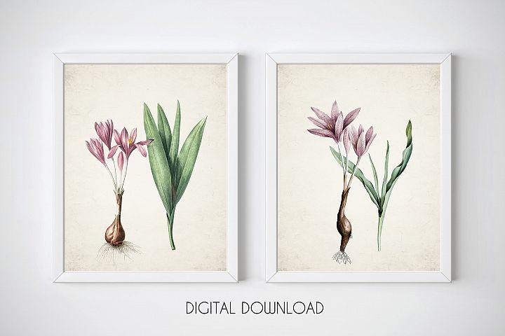 Crocus Print, Set of 2 Wall Art, Vintage Botanical Prints