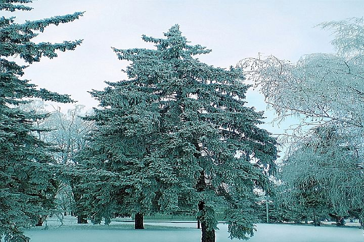 Blue spruce trees in winter