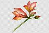 Beautiful watercolor amaryllis PNG set example image 2