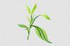 Bamboo Sanderica Drazen Watercolor png example image 3