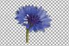 Cornflower watercolor clip art pack, bachelor's button example image 10