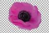 Anemone watercolor clip art pack, watercolor anemone design example image 11