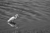White heron photo 8 example image 1