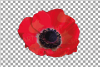 Anemone watercolor clip art pack, watercolor anemone design example image 13